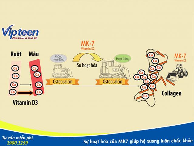 Sự hoạt hóa của MK7 trong cơ thể