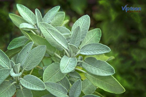 Mùi hương của cây xô thơm có khả năng cải thiện chứng đổ mồ hôi trộm