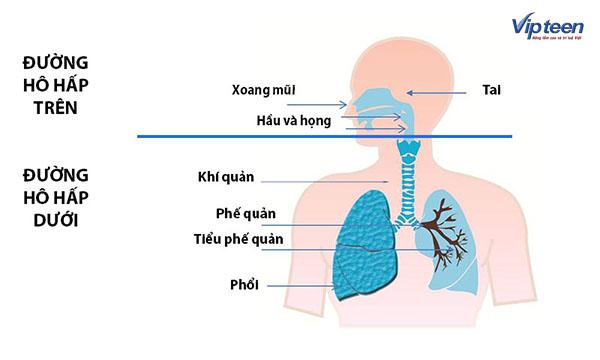 Đường hô hấp dưới bao gồm khí quản, phế quản, tiểu phế quản và phổi