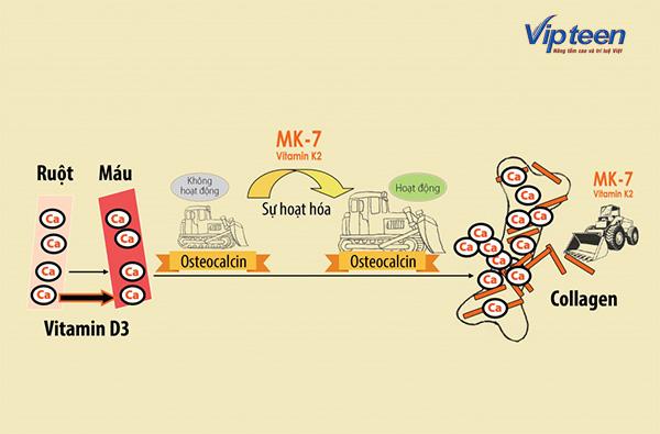 Cơ chế hoạt động của Canxi nano, Vitamin D3, MK7 cho trẻ chậm mọc răng