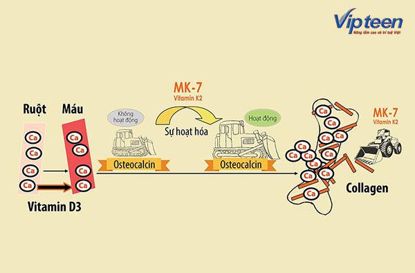 Canxi, Vitamin D3 và MK7 có mối liên hệ chặt chẽ với nhau trong cơ thể