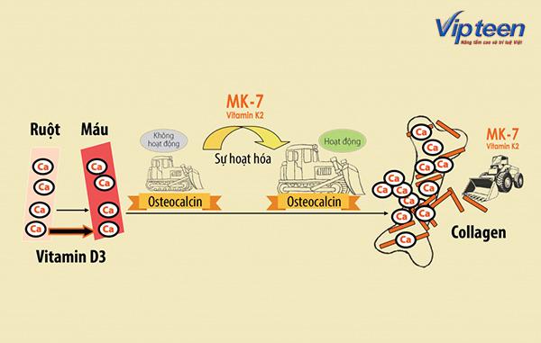 Canxi nano, Vitamin D3 và MK7 có mối quan hệ mật thiết với nhau
